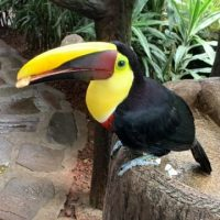 Toucan feeding at The Peace Lodge